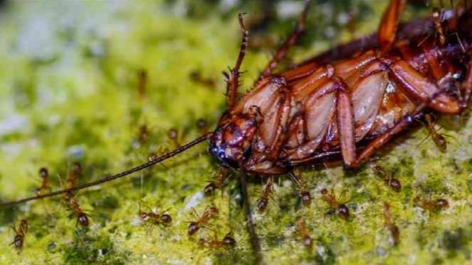Kecoak mati dikerubungi semut