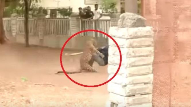 Detik-detik serangan macan tutul.