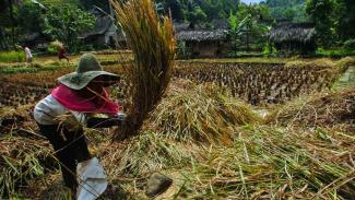 Warga merontokan padi saat panen raya di Kampung Naga, Kabupaten Tasikmalaya, Jawa Barat.