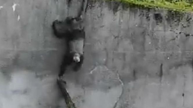 Simpanse kabur dari kandangnya.