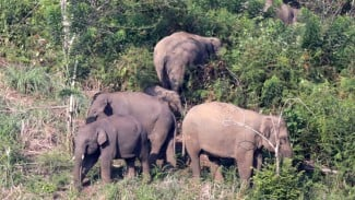 Ilustrasi gajah liar.
