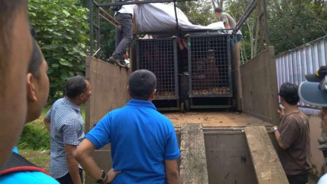 Kebun Binatang Medan Kelebihan Harimau, Dua Ekor Dikirim Ke Jakarta