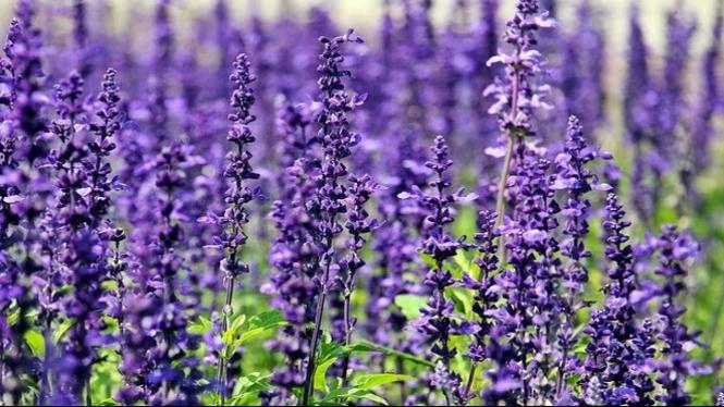 https://pixabay.com/id/lavender-bunga-bunga-1507499/