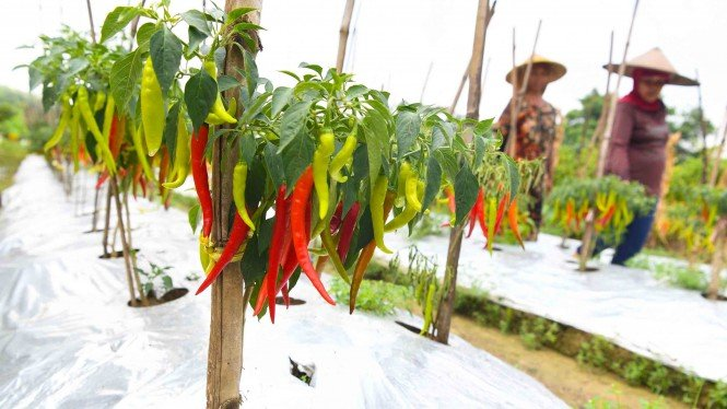 Petani memanen cabai merah di kawasan lahan pertanian  Sumur Welut di Surabaya,