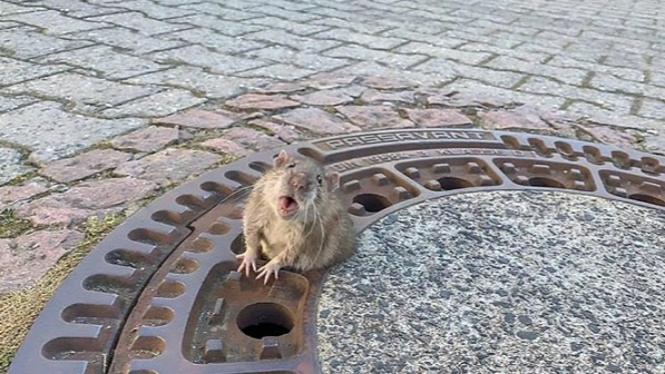 Tikus gemuk terjebak di lubang penutup got.