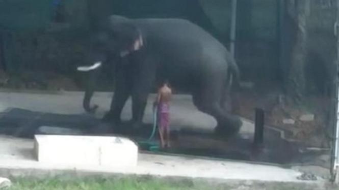 Gajah duduki pawang hingga tewas.