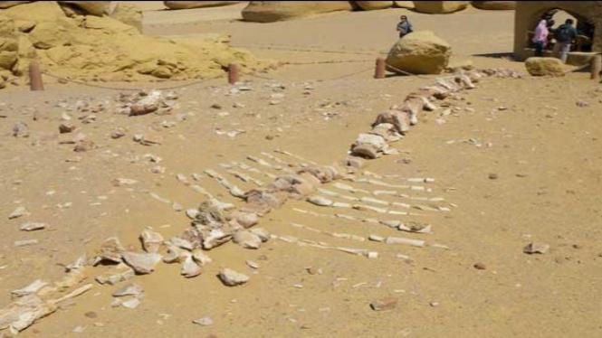 Fosil Ikan Paus Purba yang pernah hidup di darat.
