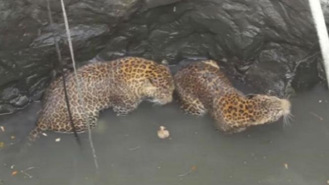 Dua macan tutul terperangkap di sumur.