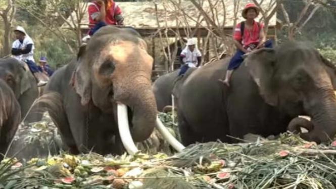 Gajah makan sepuasnya.