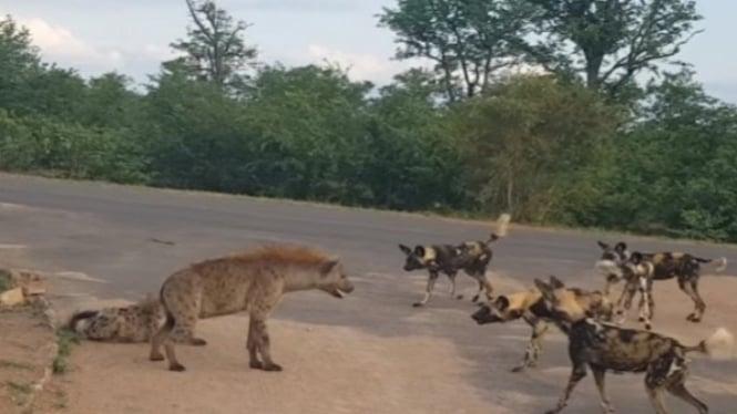 Hyena diserbu kawanan anjing liar.