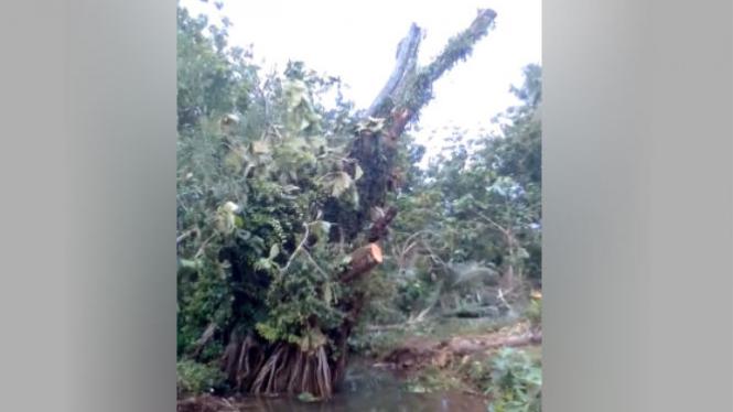 Pohon tumbang dapat tegak kembali.
