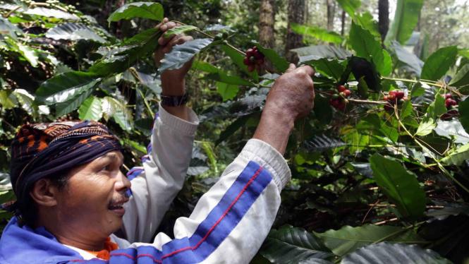 Kegiatan petani memetik biji kopi di hutan di Bandung, Jawa Barat