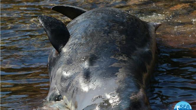 Bangkai paus betina yang terdampar di Italia