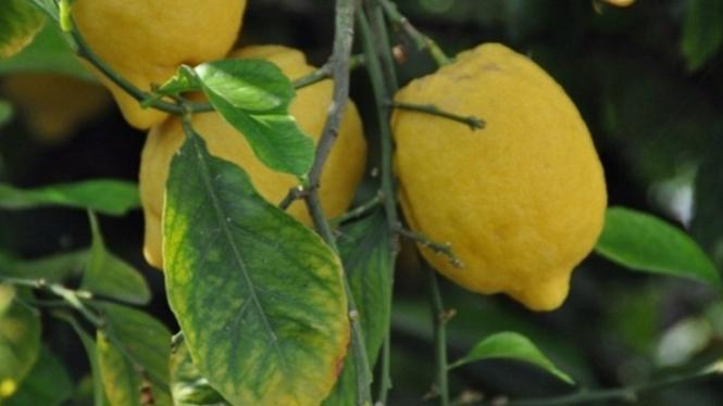Jeruk lemon.