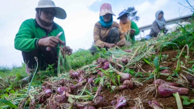 Petani memanen bawang merah di Kampung Tugu, Cimenyan, Kabupaten Bandung, Jawa Barat, Selasa, 7 Mei 2019.