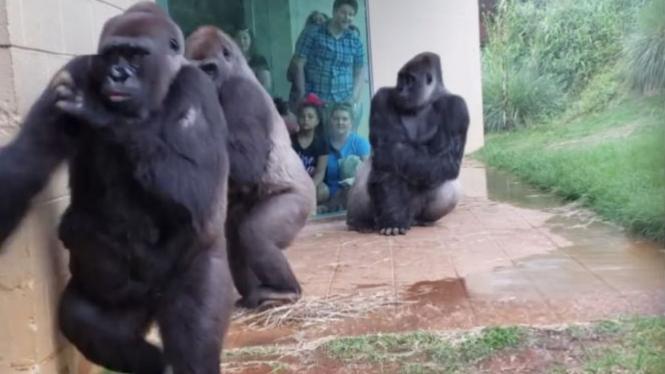 Hasil gambar untuk gorilla takut hujan