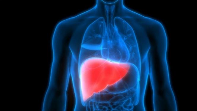 Ilustrasi organ hati.