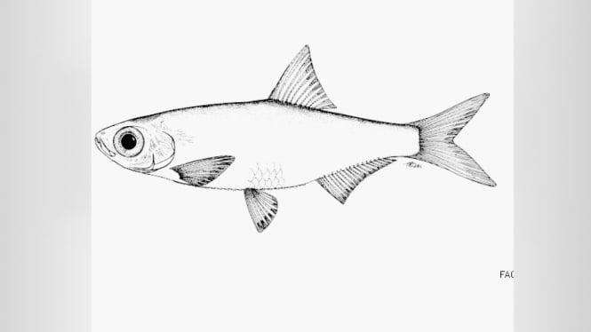 Ikan Dungu Spart