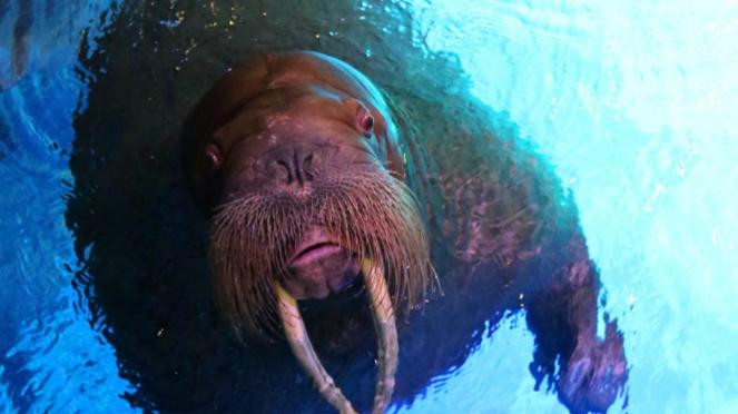 Walrus, Ocean Park Hong Kong