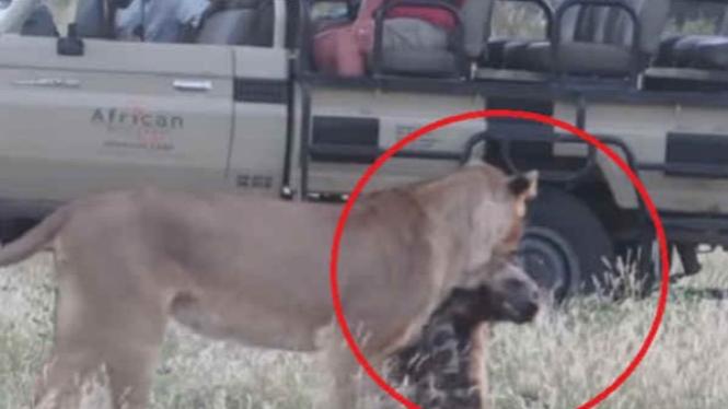 Singa gigit anjing liar.