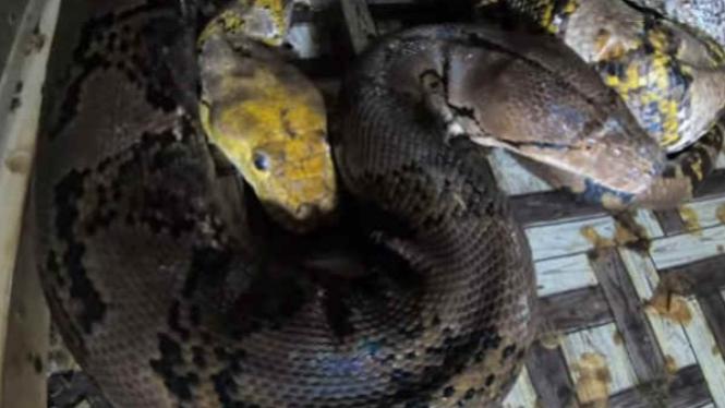 Dua ular piton besar sedang kawin.