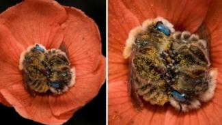 https://thumb.viva.co.id/media/frontend/thumbs3/2019/06/06/5cf8eca682054-ssst-jika-diperhatikan-ada-lebah-tidur-di-bunga-ini-lucu-banget_325_183.jpg