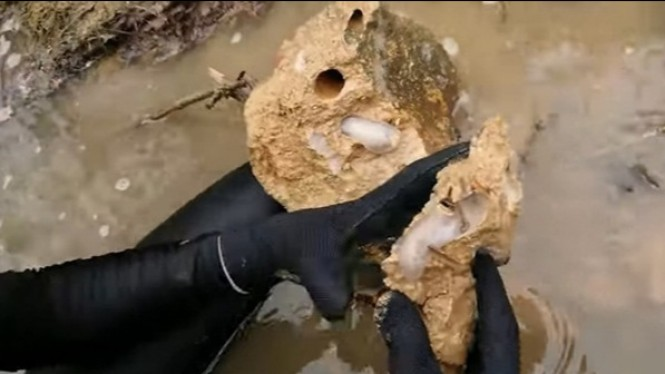 Cacing kapal dalam batu kapur.