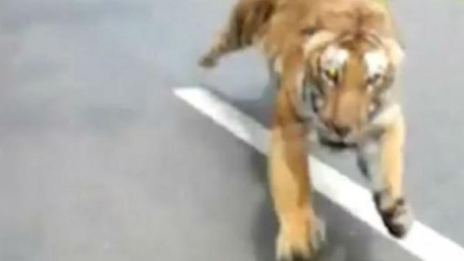 Harimau mengejar sepeda motor.