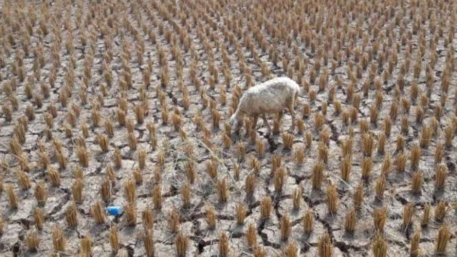 Musim kemarau menyebabkan areal persawahan gagal panen