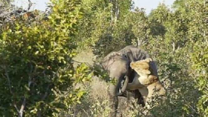 Anak gajah melawan singa betina besar.