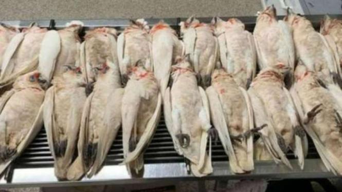 Sedikitnya 60 burung mati dan berjatuhan tiba-tiba dari angkasa di Australia