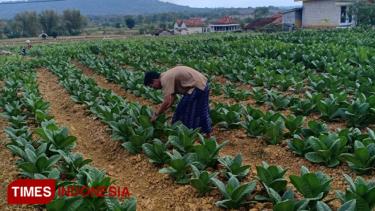 https://thumb.viva.co.id/media/frontend/thumbs3/2019/07/13/5d29f44f3138e-kekeringan-petani-tembakau-mulai-khawatir-gagal-panen_375_211.jpg