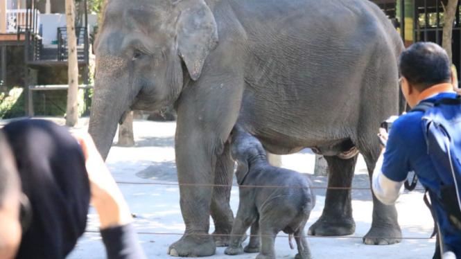 Dumbo, anak gajah Sumatera di Jatim Park 2.