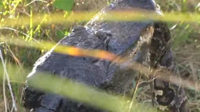 Buaya aligator vs ular piton.