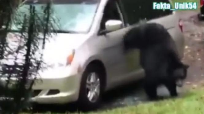 Beruang masuk ke mobil.