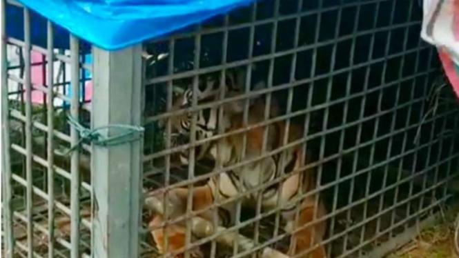 Harimau ditangkap di Padang Lawas, Sumut