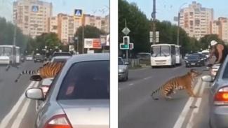 Harimau kabur dari mobil.