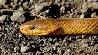 Ilustrasi ular berbisa.