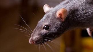Tikus pengerat