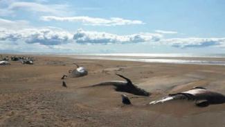 Kematian paus di pantai.