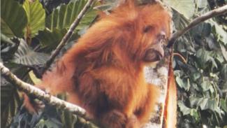 Orang Utan Tapanuli yang habitatnya dirusak orang tak dikenal