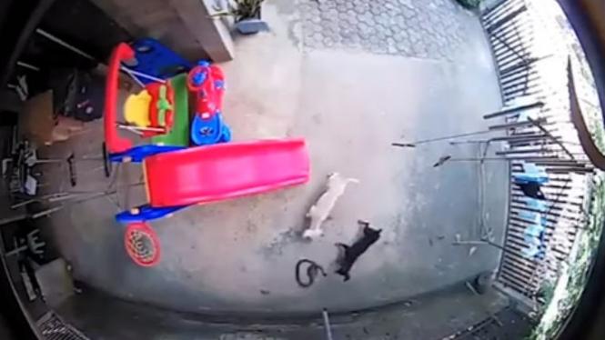 Anjing bertarung dengan kobra.