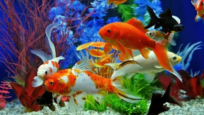 10 Ikan Hias Air Tawar yang Bagus untuk Kamu Pelihara