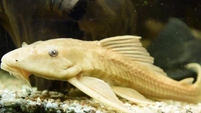 Ikan Sapu Sapu Hias   Hewan Air Info