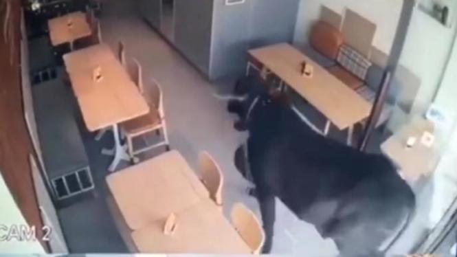 Seekor sapi kurban kabur dan masuk ke restoran.