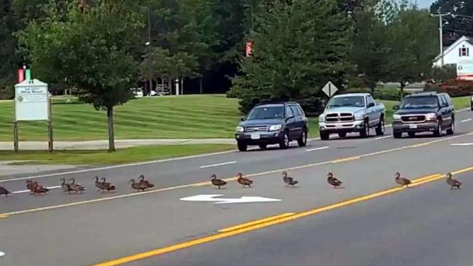 Kawanan bebek menyeberang jalan