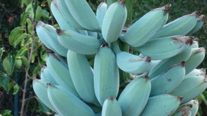 Pisang Blue Java