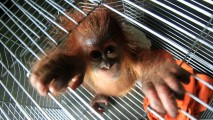 https://thumb.viva.co.id/media/frontend/thumbs3/2019/08/21/5d5cd1f4acc9f-penyerahan-bayi-orangutan-sumatera_213_120.jpg