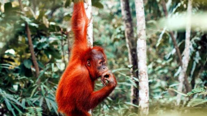 Orangutan di Taman Nasional Gunung Leuser