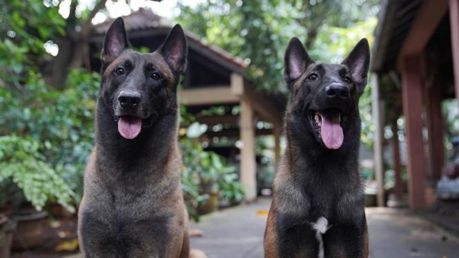 Anjing Malinois milik Bima Aryo.